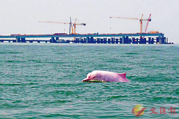 ■粵港澳大灣區範圍的珠江口內,擁有世界資源數量最多的中華白海豚群體,數量超過2,000頭。 網上圖片