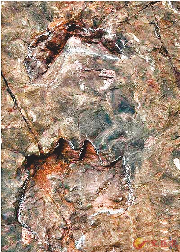 ■ 貴州省茅台鎮一酒廠內的蜥腳類恐龍足跡群。網上圖片