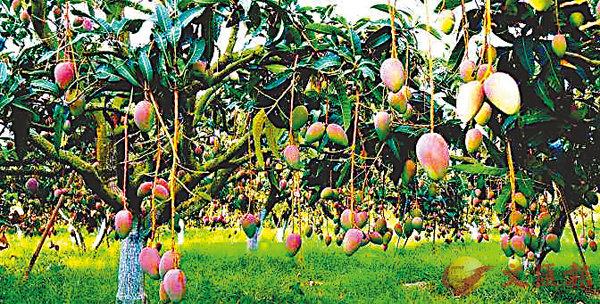 ■芒果素有「熱帶果王」之譽。 作者提供