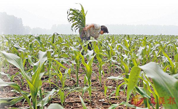 ■有機食品在各地的需求愈來愈高,圖為北京的有機農場。 資料圖片
