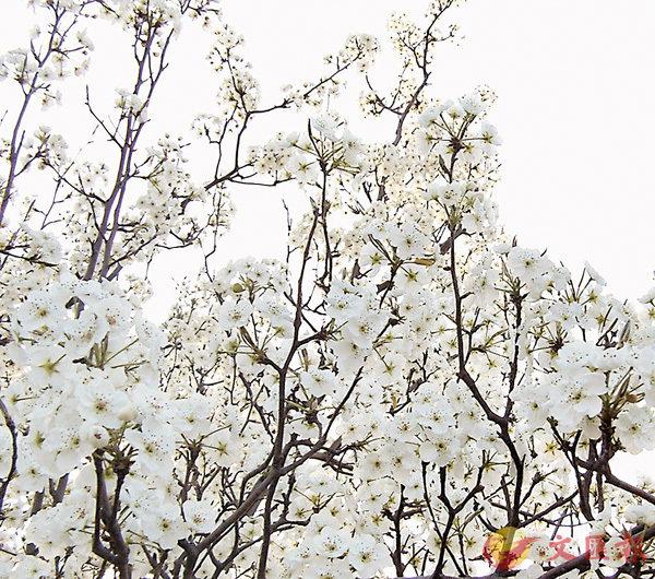 ■梨花盛放。網上圖片