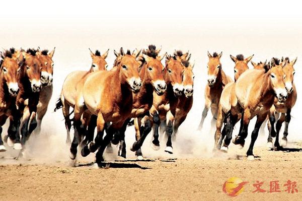 ■ 新疆普氏野馬。 網上圖片