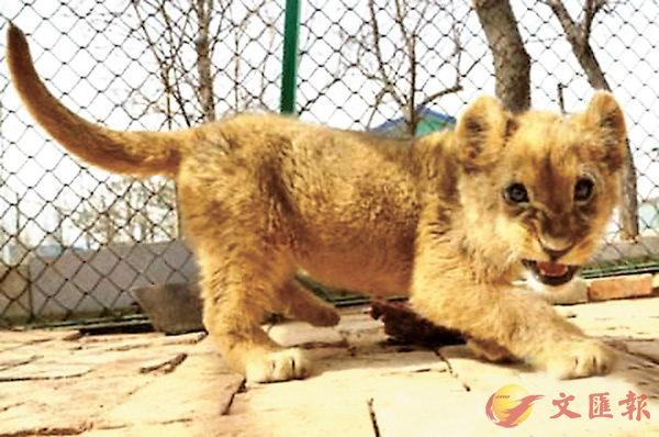 ■2016年在青藏高原野生動物園出生的非洲獅寶寶「美一」。網上圖片