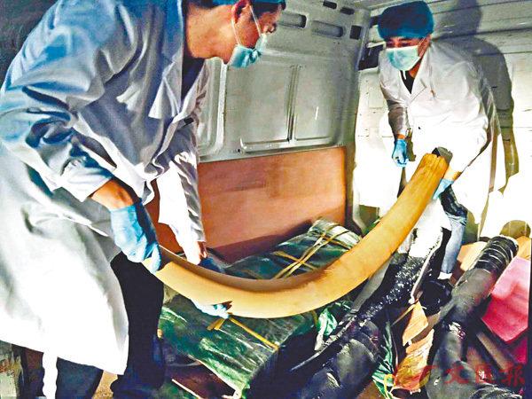 ■執法人員檢獲10根完整非洲象牙。 受訪者提供