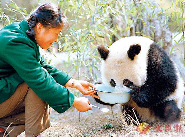 ■ 金勖琪1980年拍攝的飼養員給即將送往德國的大熊貓「寶寶」餵牛奶。 新華社