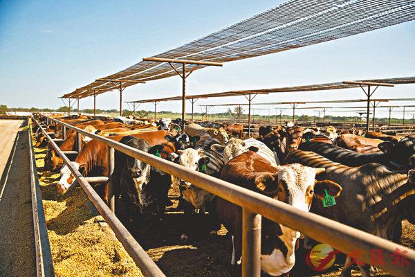 ■製作試管肉不需如傳統畜牧業每年消耗十億噸穀物飼養牲畜,且不會對牲畜帶來痛苦。 資料圖片