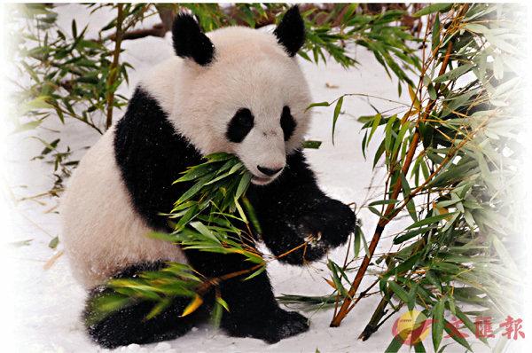 ■「福鳳」在雪中享用竹子。新華社