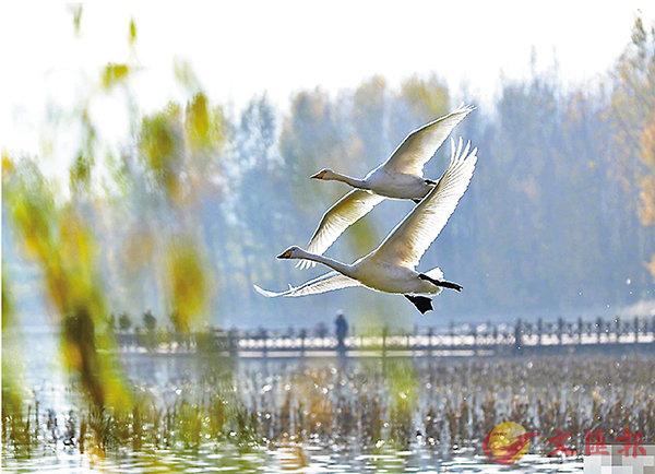 ■ 野生白天鵝從西伯利亞飛抵平陸黃河濕地棲息越冬。 網上圖片