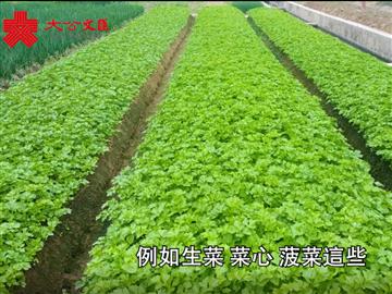 實地探訪供港蔬菜基地:預計農曆年供港菜價平穩 意頭菜受歡迎