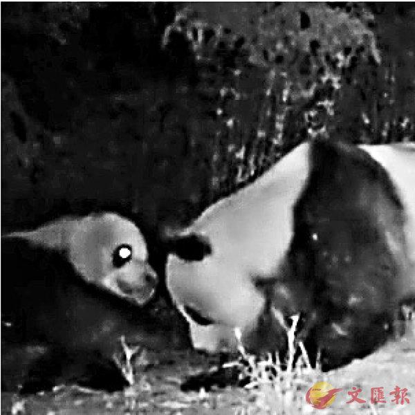 ■ 兩隻大熊貓互相對望並撫摸對方臉頰,十分親密。 視頻截圖