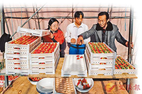 曲振富(右一)把草莓種植技術普及給村民,讓大家都得到實惠。 網上圖片