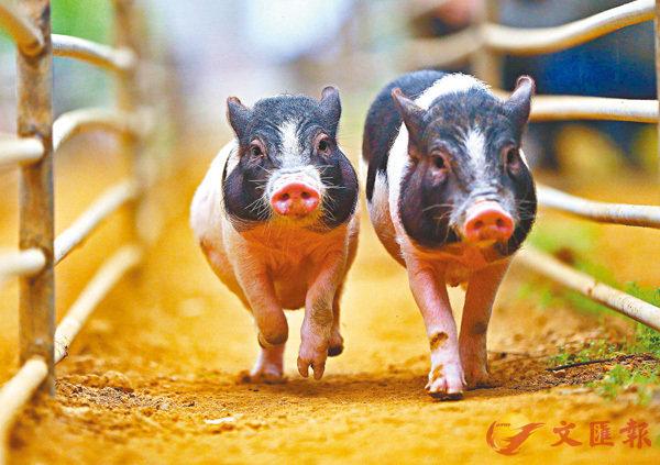 ■「每下愈況」原指估量豬隻肥瘦。資料圖片