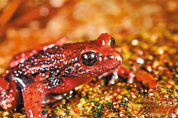 ■雲南高黎貢山發現兩棲動物新種「騰衝齒突蟾」。 網上圖片