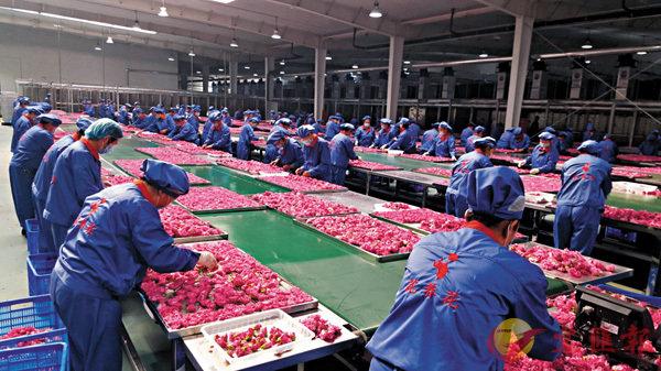 ■華玫生物擁有目前內地第一條重瓣玫瑰凍乾生產線。圖為其生產車間。 香港文匯報山東傳真