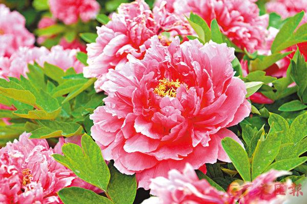 ■牡丹花又稱為木芍藥,乃唐代人所酷愛。資料圖片