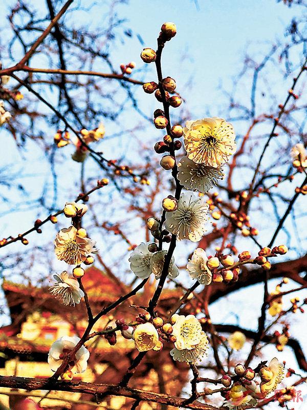 ■筆者拍攝於北京明城牆遺址公園的梅花。 作者提供