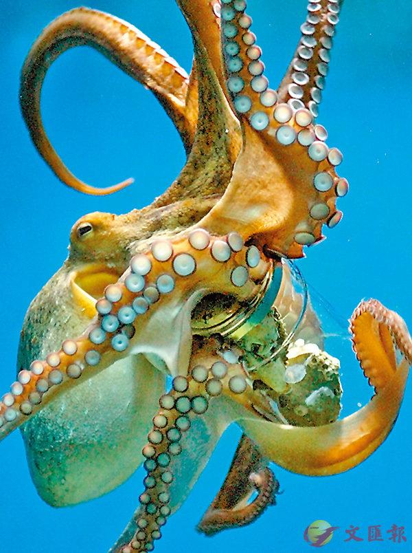 ■Octo-這字首與八有關,例如Octopus就是八爪魚。October本來也是八月,但後來被加了兩個月在前面,才變成十月。資料圖片