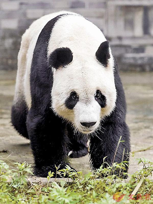 ■大熊貓「園園」昨日從四川臥龍神樹坪基地前往奧地利維也納美泉宮動物園「旅居」四年。網上圖片