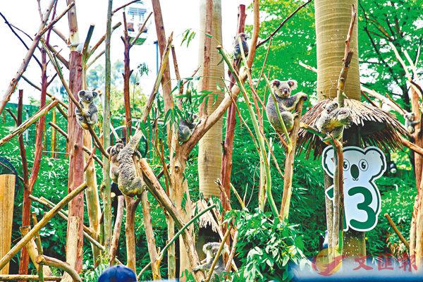 樹熊在廣州成功開枝散葉,實現六代同堂。 香港文匯報記者胡若璋 攝