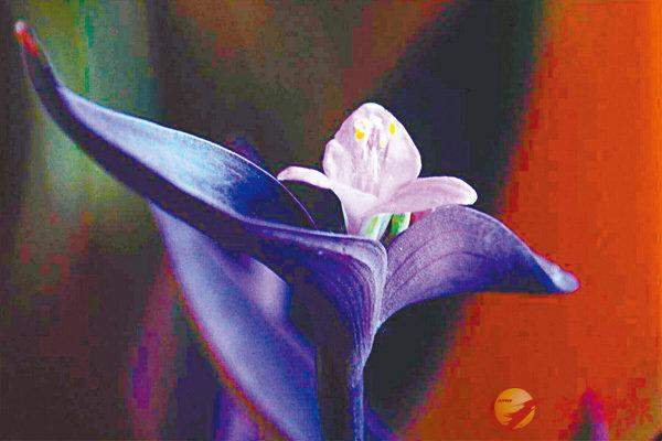 ■紫羅蘭倩影。(韓鳳平攝)  作者提供