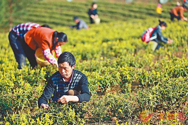 ■四川省旺蒼縣米倉山南麓一帶的茶園裡近百名茶農在採摘黃茶。 中新社
