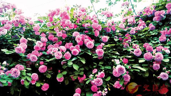 ■圖片是拍攝於家門口的薔薇花海。  作者提供
