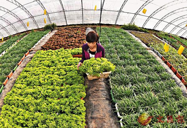 ■有機蔬菜在種植過程中應不使用任何農藥。 資料圖片
