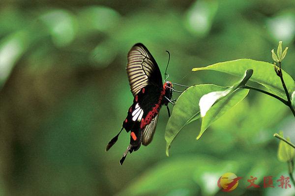 ■莊子夢見自己是隻蝴蝶,醒來後搞不清哪個才是夢。 資料圖片