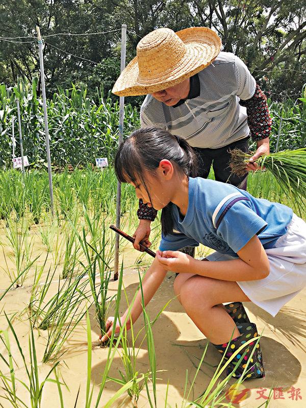 ■同學落手落腳體驗耕種有機稻米。 資料圖片