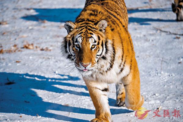 ■中國古典文學中提到的老虎,大多都與吃人有關係。資料圖片