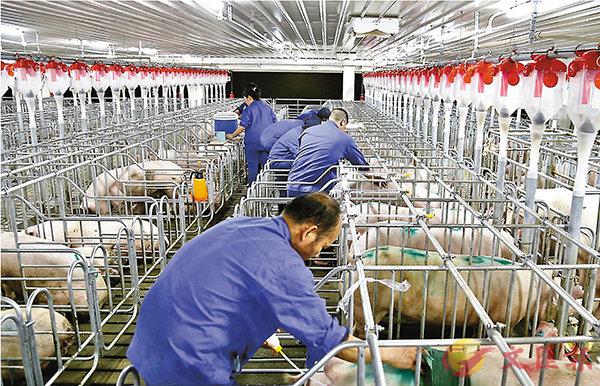 供港豬肉嚴把「六關」保安全