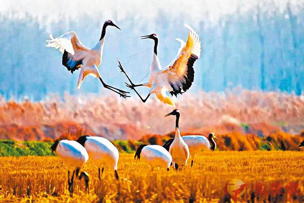 ■黃渤海候鳥棲息地(第一期)是百萬候鳥的停歇地、換羽地和越冬地。受訪者供圖