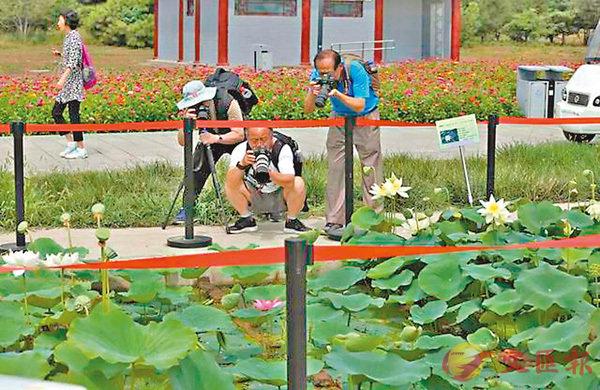 百年古蓮的盛開吸引了眾多遊客駐足拍照。