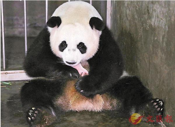 ■ 「阿寶」初次產子成為「熊母」。 受訪者供圖