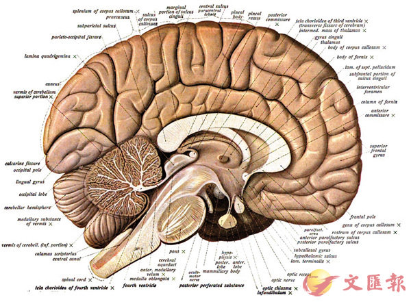 ■腦部的構造令我們不容易明白它是如何完成工作的。 網上圖片