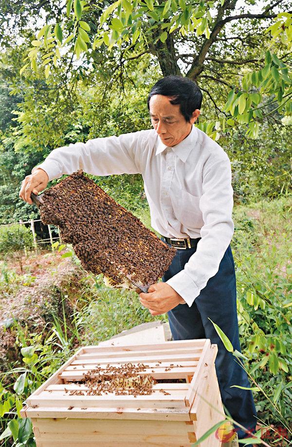 ■段仁義幾乎每天都圍�虒謗c轉,察看蜜蜂生長情況。香港文匯報記者姚進 攝