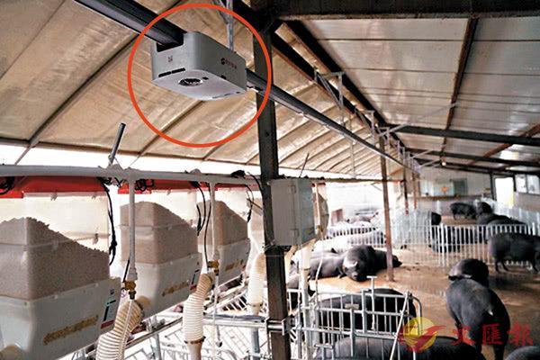 ■ 鞋盒大小的養殖巡檢機器人 (紅圈示) 正在棚頂「巡邏」養豬場內的情況。 網上圖片