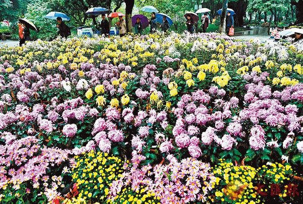 ■遊客在細雨中觀賞盛開的菊花。 中新社