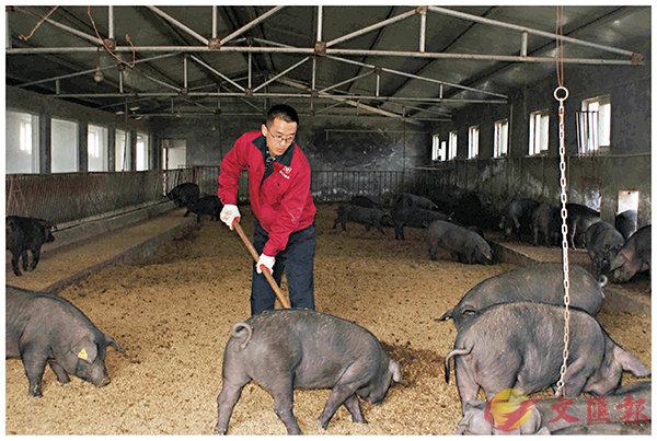 ■王元虎親自在豬舍裡幹活。  香港文匯報山東傳真