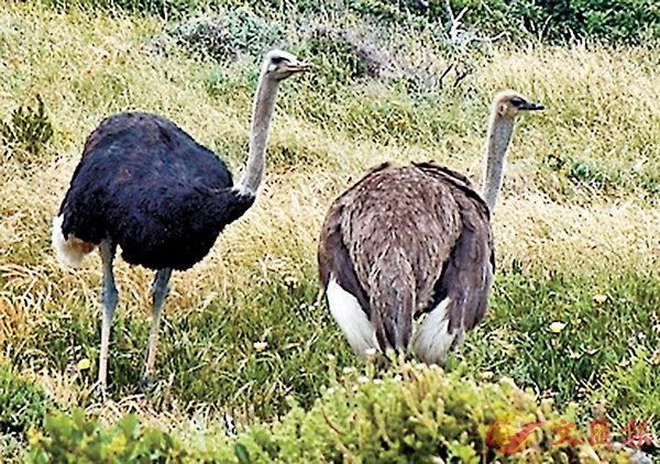 ■有些鳥類放棄或喪失了飛行的能力:鴕鳥就是很有名的例子。 網上圖片