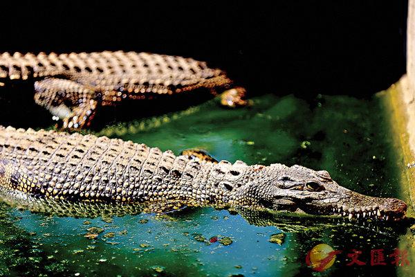 ■寫篇文章就能把鱷魚趕走,當然不可信,但文章中反映的人格卻值得我們學習。資料圖片