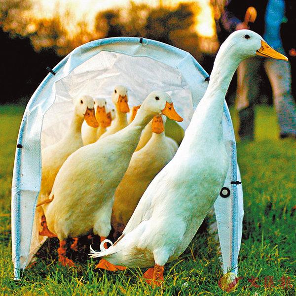 ■維加鳥跟鴨子同類,也可以發出相似的叫聲。 網上圖片