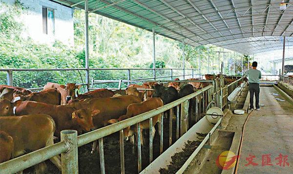 ■廣西環江富林生態農業發展有限公司的菜牛養殖場。 受訪者供圖