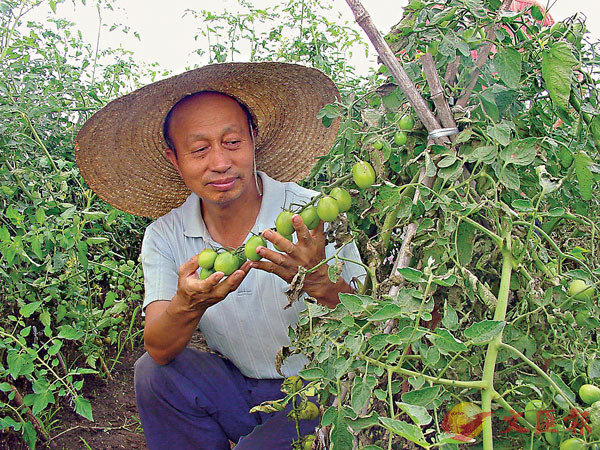 ■ 李景富深情地凝視番茄幼苗。