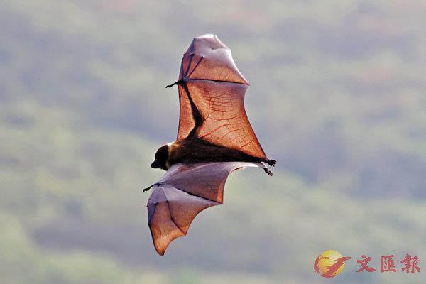 ■蝙蝠之後,下一波世紀疫症的宿主可能是鳥類。   網上圖片