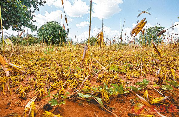 ■ 蝗蟲令農民莊稼盡毀。路透社