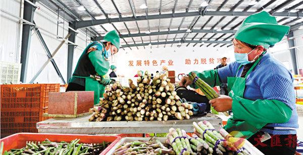 ■在寧夏吳忠市同心縣下馬關鎮窖坑子村蘆�加工車間,工作人員將修剪好的蘆�進行打綑。  中新社