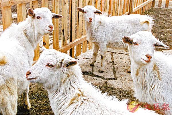 ■ 複製技術愈來愈成熟,複製羊已不是新鮮事。 資料圖片
