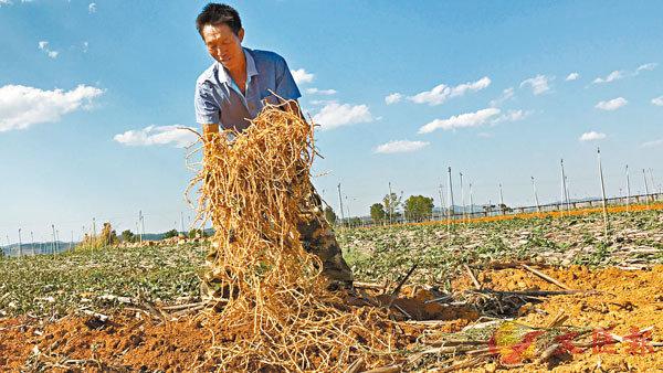 ■ 魚腥草價格今年以來節節攀升,創下十年最高。
