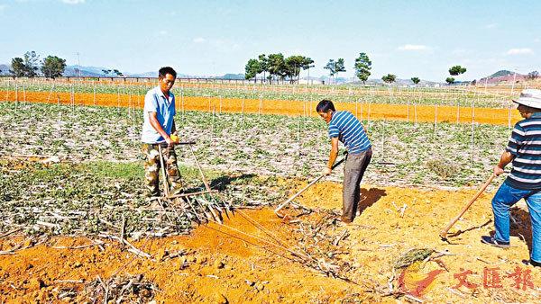 ■ 雲南文山州硯山縣拉白村78戶全部種植魚腥草,種植面積達到1,000畝。
